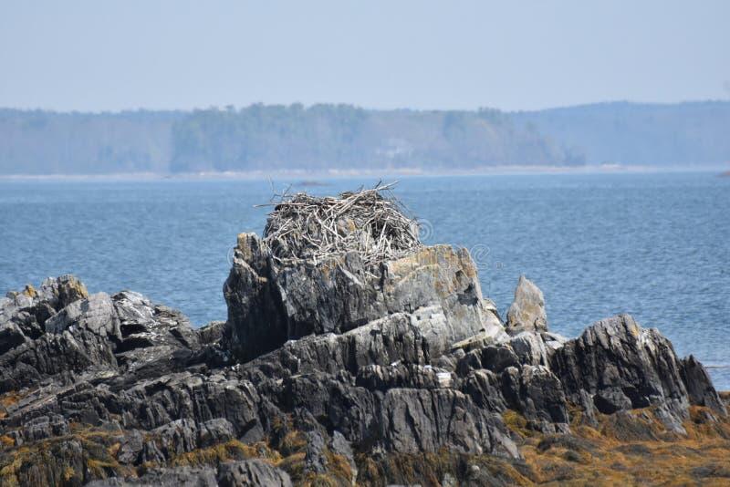沿海白鹭的羽毛巢在岩石顶部的缅因 免版税库存图片
