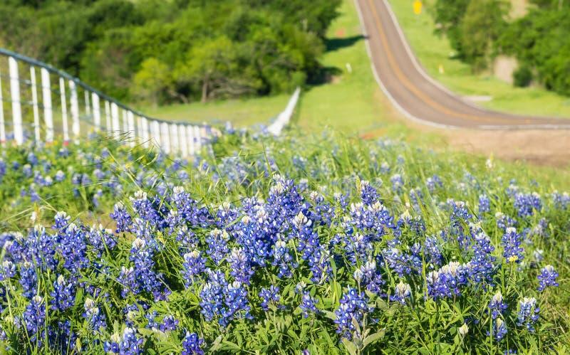 沿滚动的路的边的得克萨斯矢车菊 免版税图库摄影