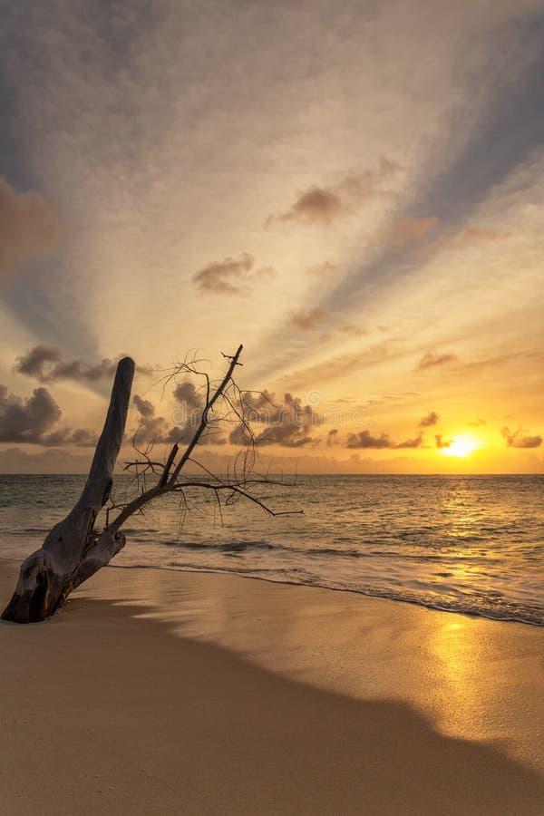 沿热带海滩的死的美洲红树树在美丽的太阳期间 免版税库存图片