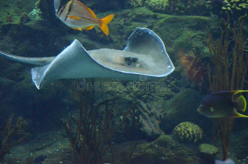 沿珊瑚礁的佩戴水肺的潜水与黄貂鱼和鱼 库存图片