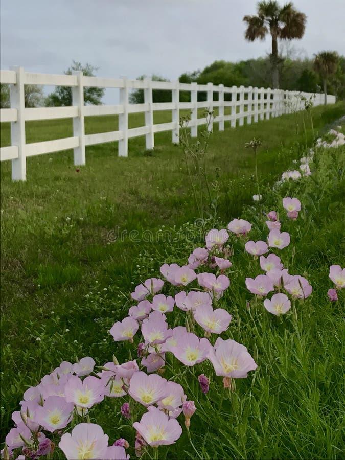 沿白色篱芭的桃红色毛茛 免版税库存照片