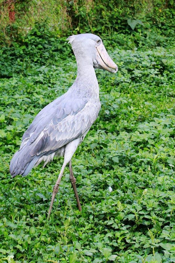 沿维多利亚湖的恩德培动物园在乌干达 免版税图库摄影