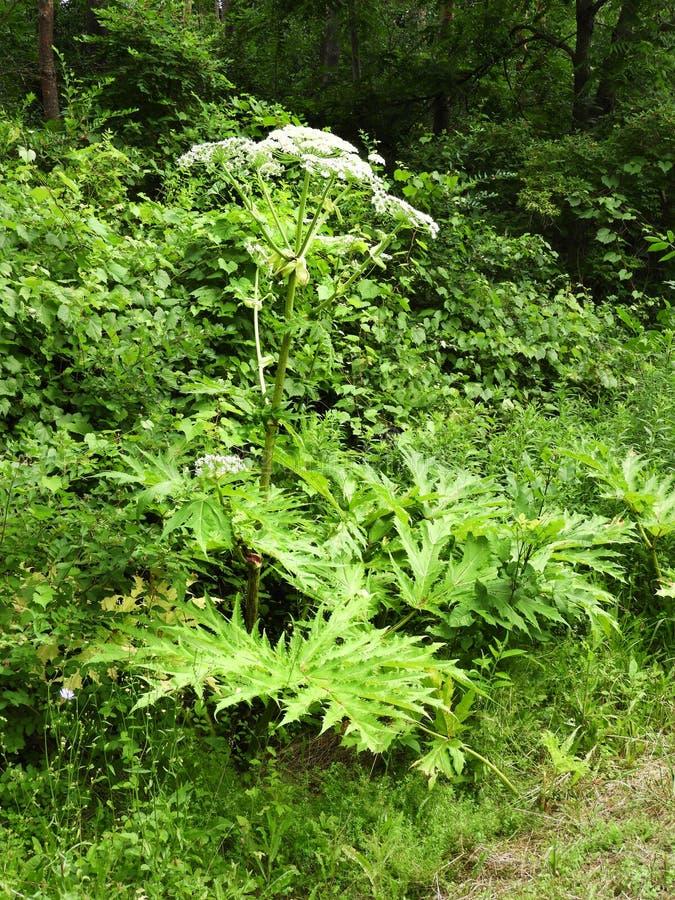 沿路旁的唯一巨人Hogweed植物 库存照片