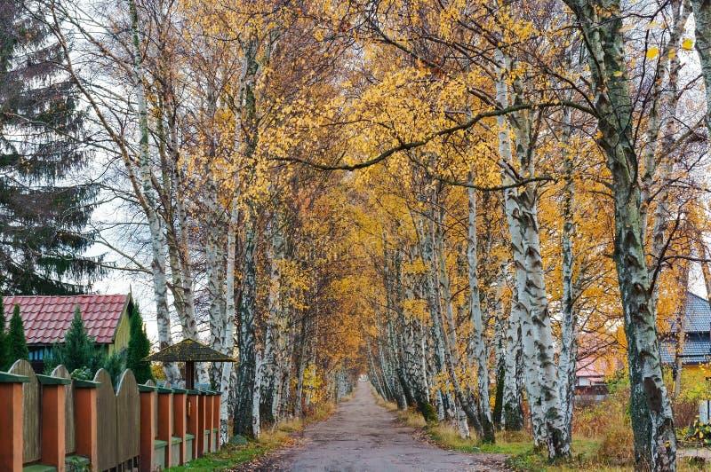 沿路的桦树树丛,桦树胡同在秋天 图库摄影