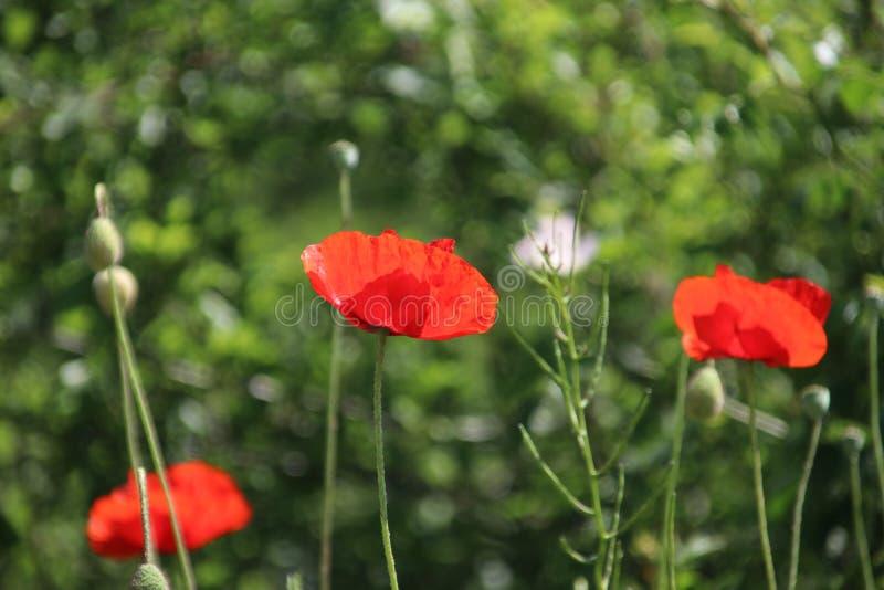 沿路的边的红色色的鸦片花在Nieuwerkerk aan小室IJssel在荷兰 库存图片