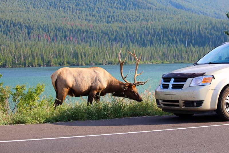 沿高速公路的一头麋公牛作为旅游车危险地停止接近它 免版税库存图片