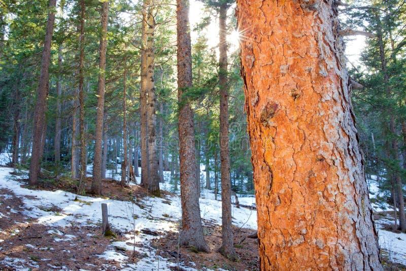 沿鹿小河的杉木森林 免版税图库摄影