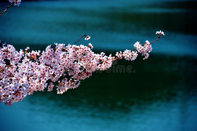 沿水坝湖/日本春天的樱花 免版税图库摄影