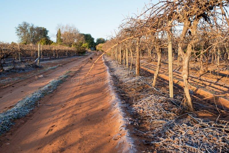 沿结霜的车道的葡萄树 库存图片