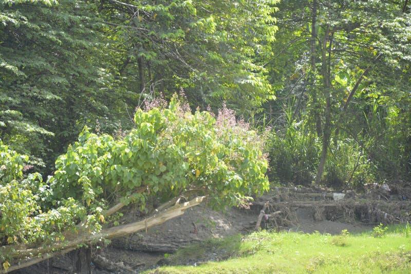 沿Bulatukan河, Tamlangon, Matanao,南达沃省,菲律宾的自然植被 库存图片