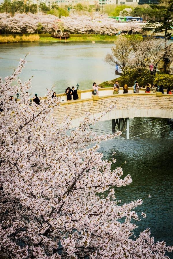 沿Lotte世界魔术海岛湖边公园的樱花  库存图片