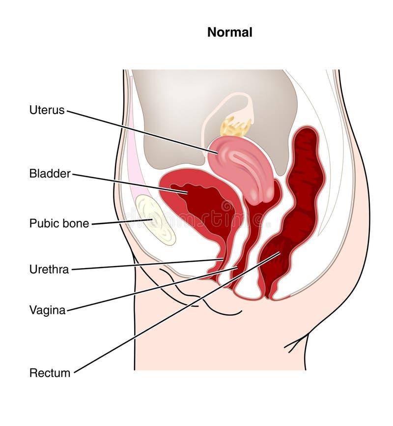 泌尿生殖器的女性 向量例证