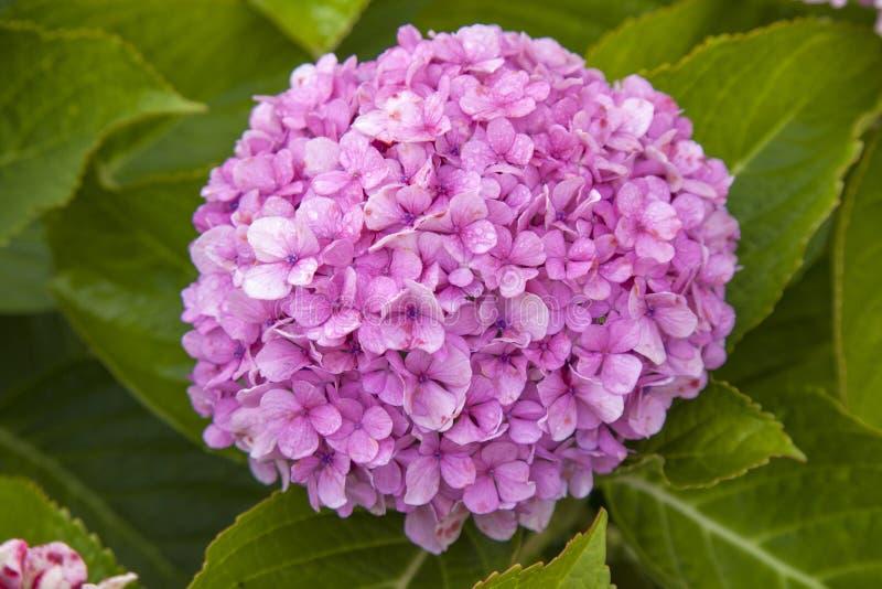 法国八仙花属花卉背景  库存图片