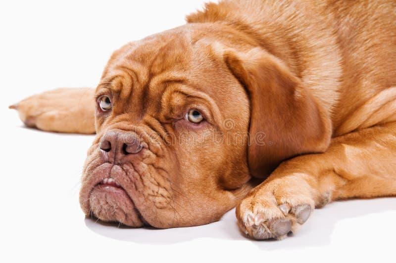 法国大型猛犬休息 免版税库存照片