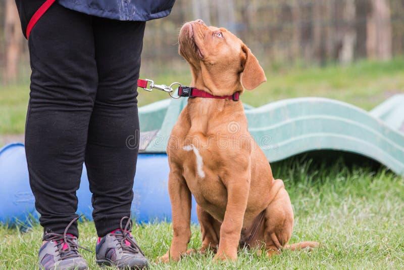 法国大型猛犬狗 图库摄影