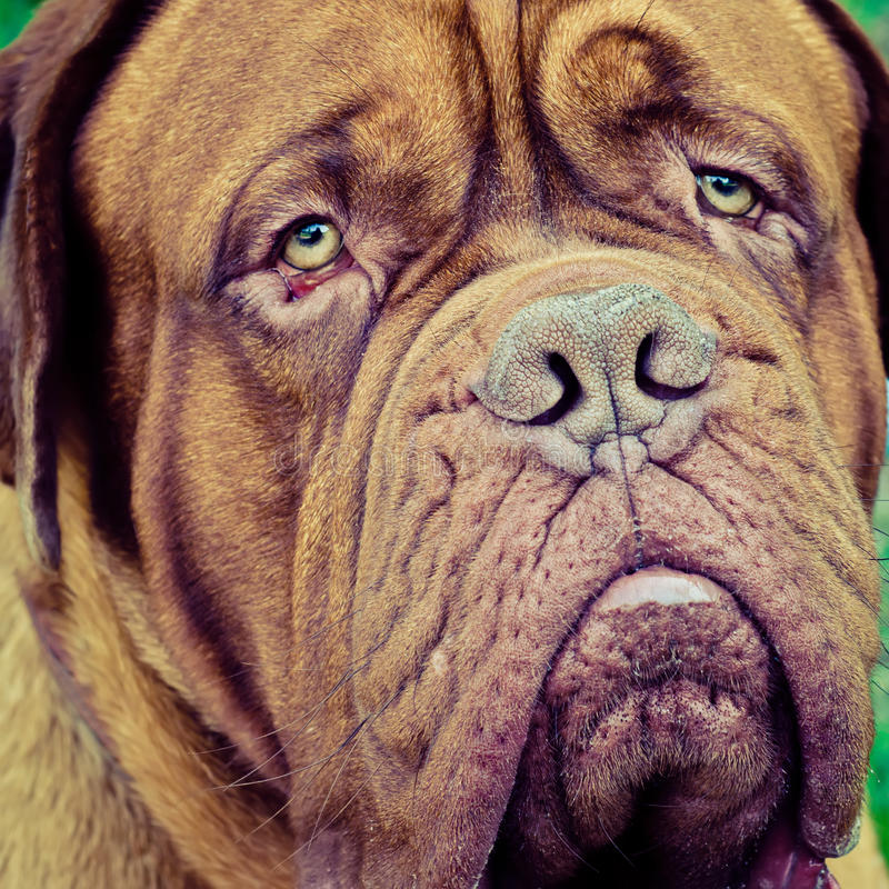法国大型猛犬 库存图片