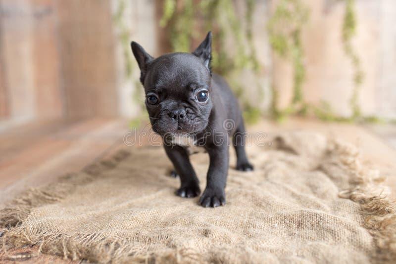 法国斗牛犬和法国狗蛹肖像 免版税库存图片