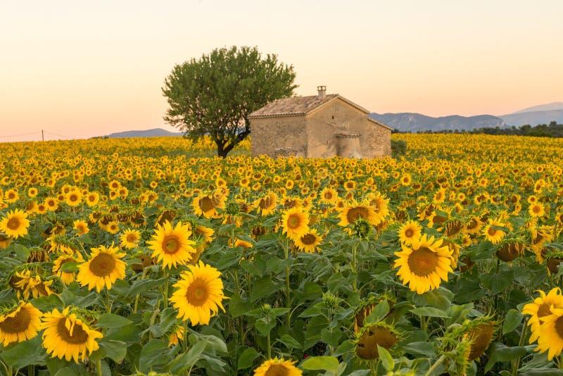 法国普罗旺斯的一栋老建筑周围环绕着向日葵 库存图片