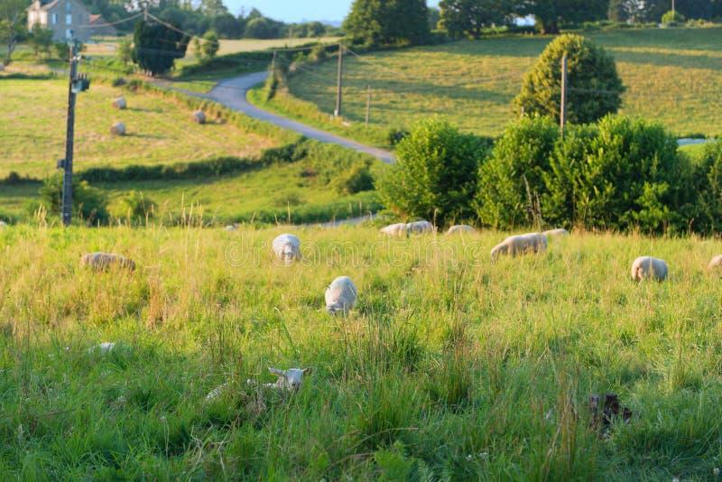 法国景观中的羔羊 库存图片