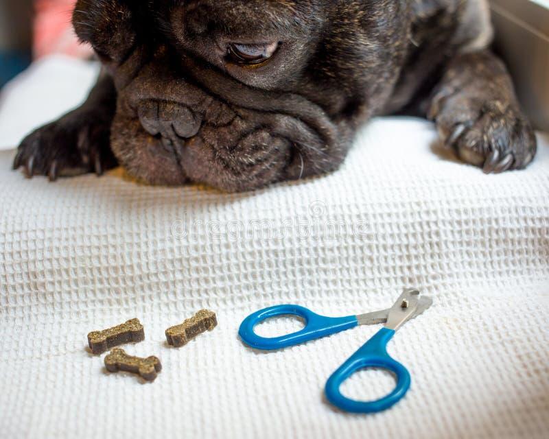 法国牛头犬在桌上,为钉子剪报准备 动物护养,狗修指甲概念 库存图片