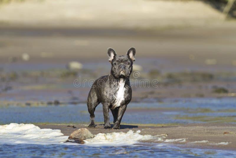 法国牛头犬在海滩水线站立准备好行动 免版税库存照片