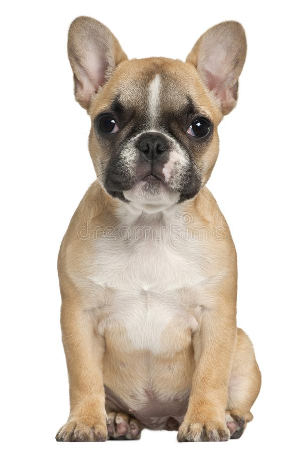 法国牛头犬小狗, 3和一半月,坐在前面 图库摄影