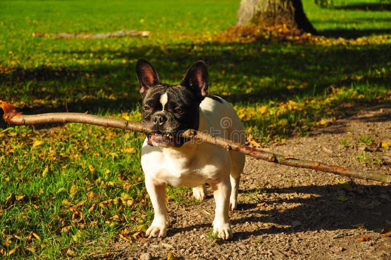 法国牛头犬用棍子 免版税图库摄影