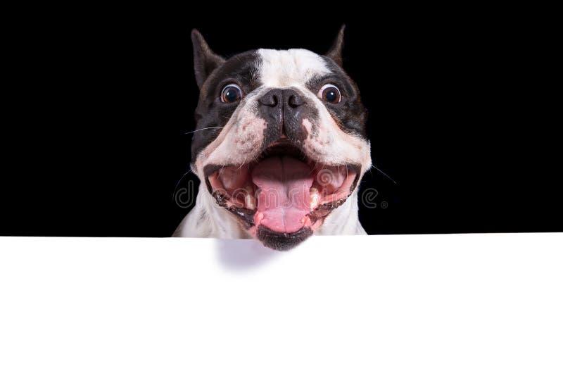 法国牛头犬的滑稽的面孔与白色拷贝空间的 库存照片