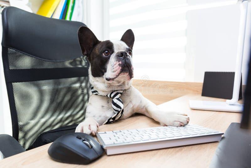 法国牛头犬研究计算机在办公室 库存照片