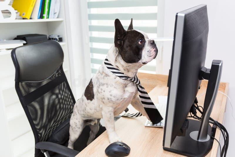 法国牛头犬研究计算机在办公室 免版税库存照片