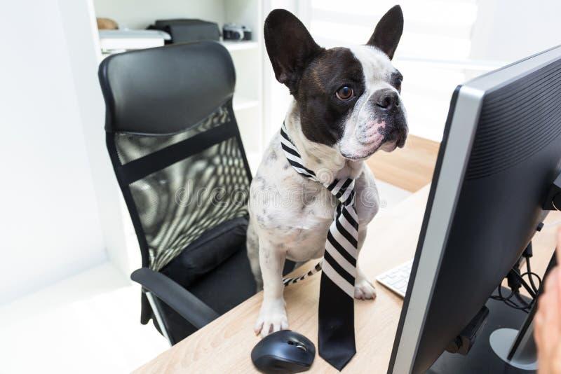 法国牛头犬研究计算机在办公室 库存图片