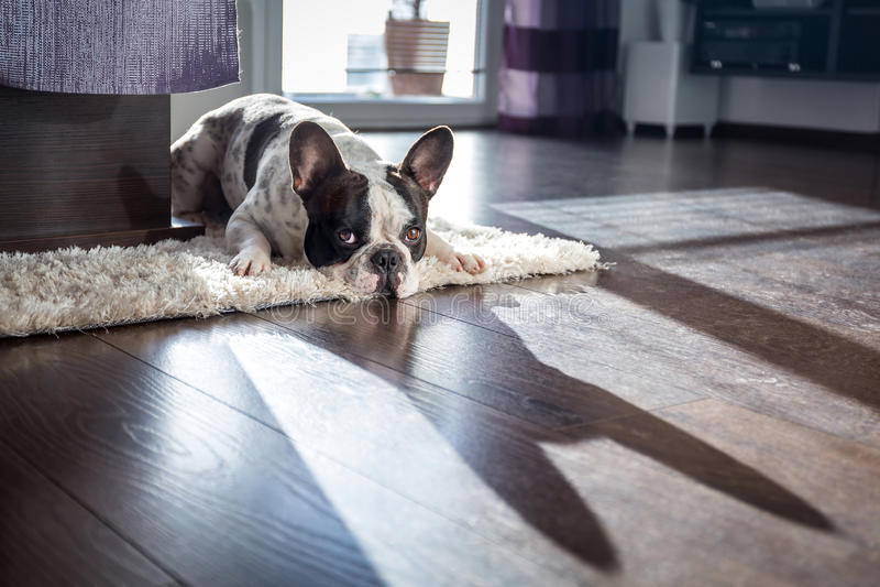 法国牛头犬在客厅 免版税库存图片
