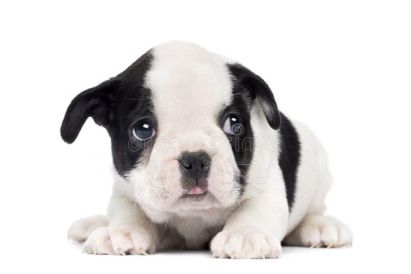 法国牛头犬小狗, 2个月 库存图片