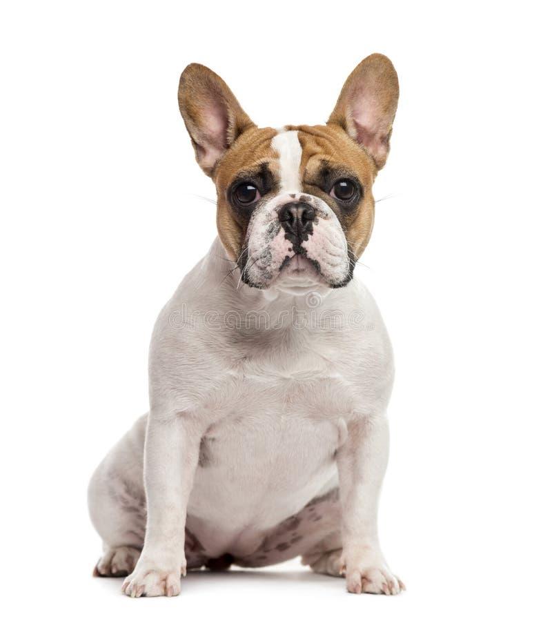 法国牛头犬开会,被隔绝 免版税库存图片