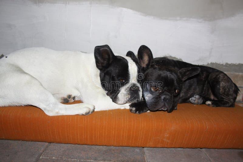 法国牛头犬,彼此相爱 免版税库存照片