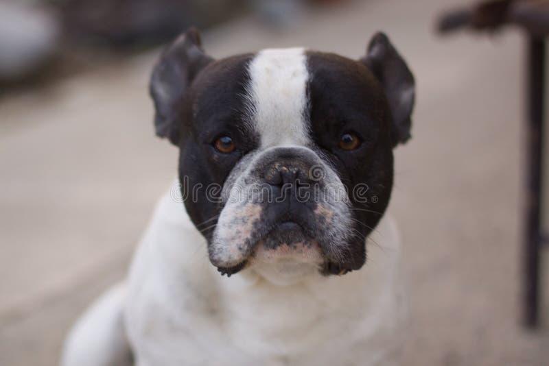 法国牛头犬画象,被聚焦 库存图片