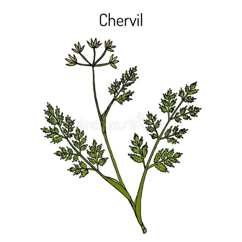 法国荷兰芹或庭院山罗卜窃衣cerefolium、香料和药用植物 皇族释放例证