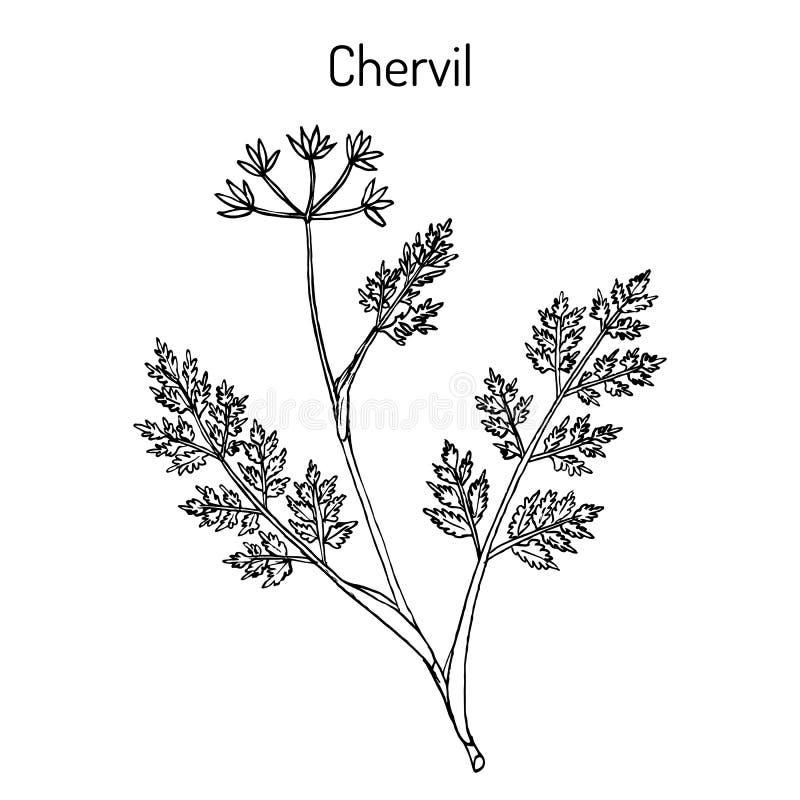 法国荷兰芹或庭院山罗卜窃衣cerefolium、香料和药用植物 向量例证
