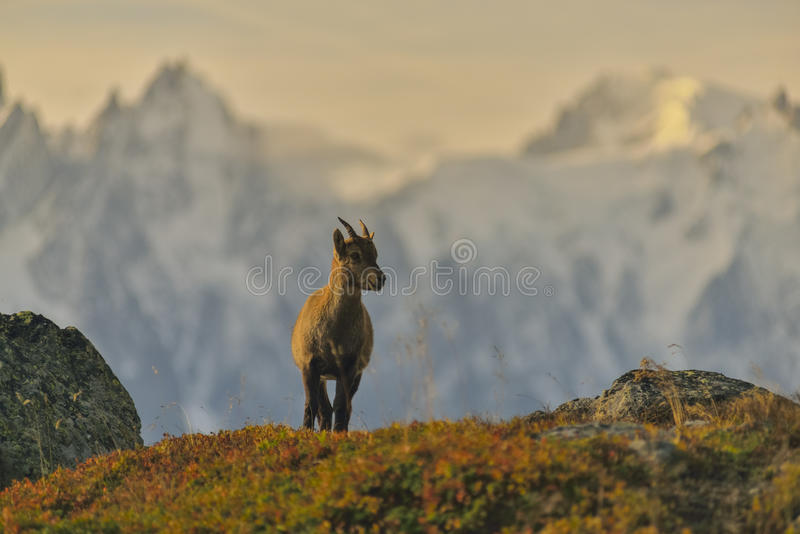 从法国阿尔卑斯的幼小高地山羊 库存照片