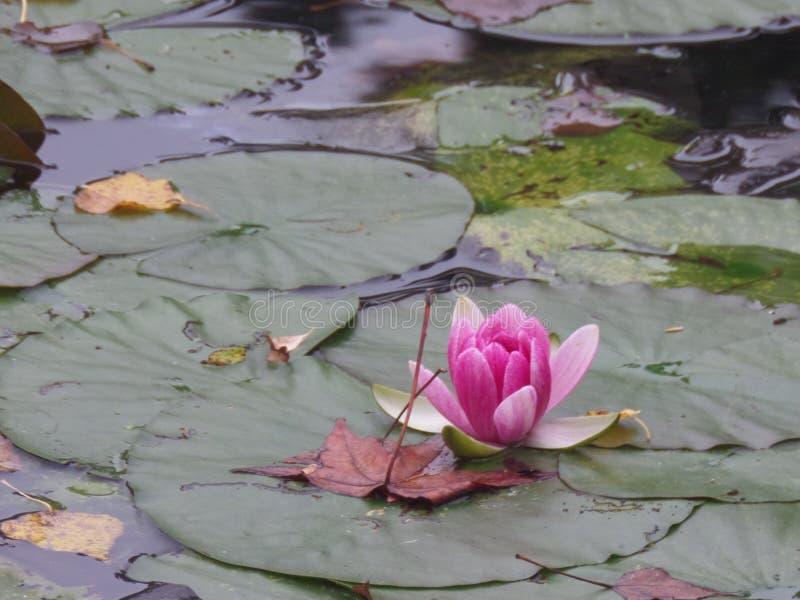 法国,卢瓦尔河流域,吉韦尔尼,克洛德・莫奈` s庭院,池塘,荷花 库存图片