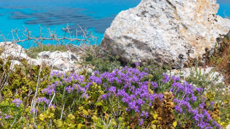 法维尼亚纳,特拉帕尼,西西里岛海岛-地中海洗刷植物群在绿松石海,用迷迭香和其他狂放的草本 免版税图库摄影