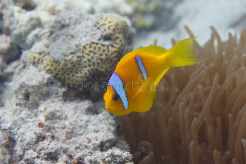 泡影技巧银莲花属的红海Anemonefish 免版税库存图片