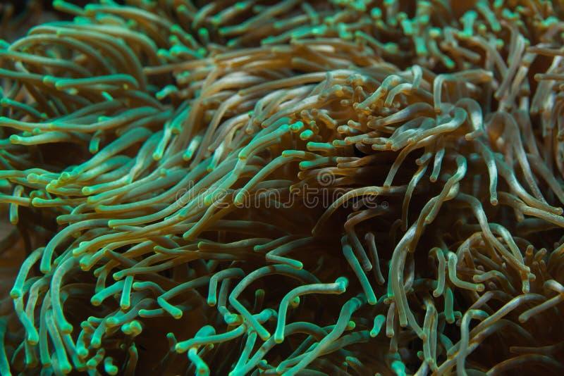 泡影技巧银莲花属Entacmaea quadricolor 免版税库存照片