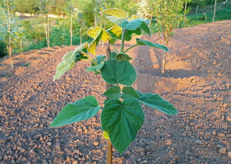 泡桐属tomentosa增长美丽在庭院里 免版税库存照片