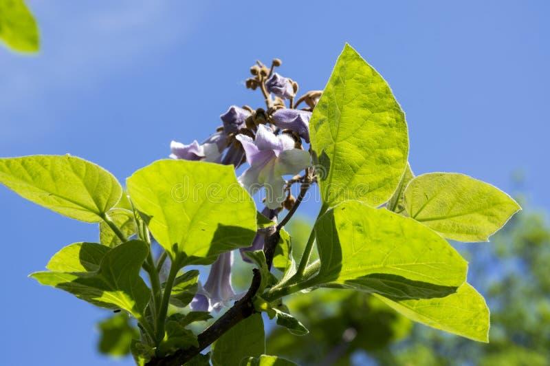 泡桐属tomentosa装饰开花的树、分支与绿色叶子,种子和紫罗兰色吊钟花 库存照片
