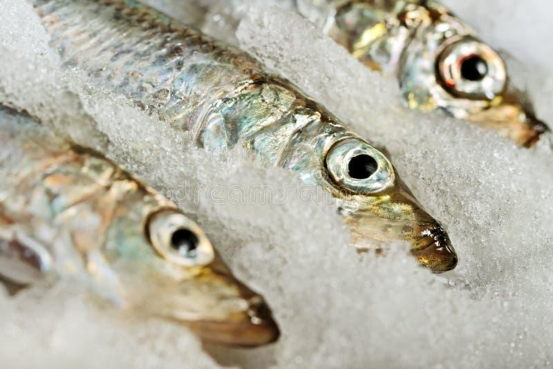 波儿地克的鲱鱼。 库存图片