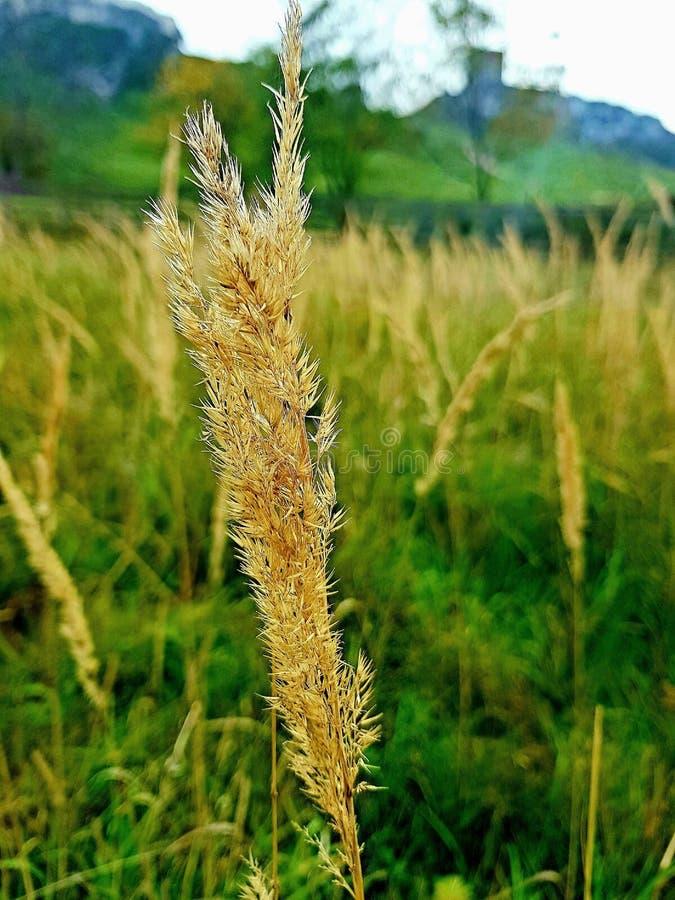 波兰一株谷物的黄茎 库存照片