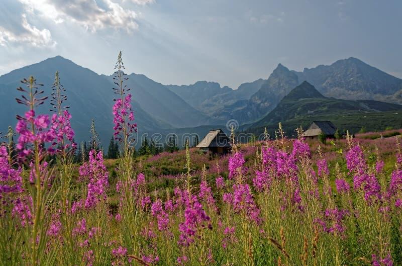 波兰, Gasienicowa谷在Tatras公园 在前景的紫罗兰色花,在第二个计划Tatra山和风雨棚 库存照片