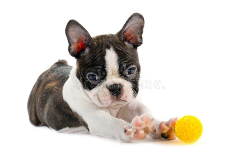 波士顿小狗狗 免版税库存图片