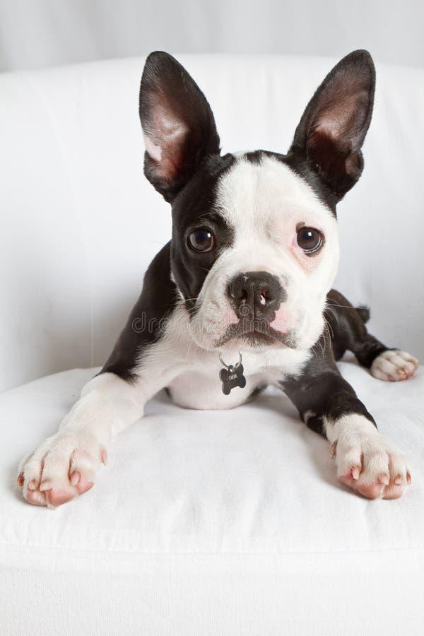 波士顿小狗狗 库存照片